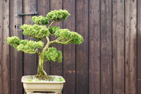 wyndcote   bonsai